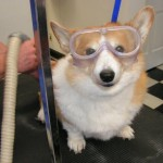 dog with goggles 005